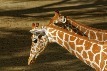 ungulate: Giraffe (Giraffa camelopardalis) is an African even-toed ungulate mammal, the tallest living terrestrial animal and the largest ruminant.
