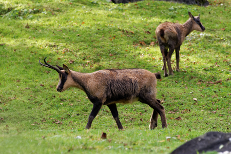 Pyrenean chamois, Rupicapra pyrenaica, is a goat antelope that lives in the Pyrenees, Cantabrian Mountains and Apennine Mountains