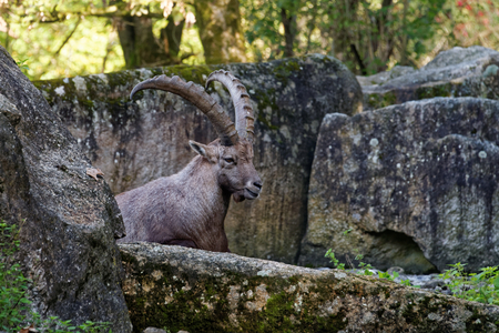 wild goat: The Alpine ibex (Capra ibex), also known as the steinbock or bouquetin, is a species of wild goat that lives in the mountains of the European Alps.