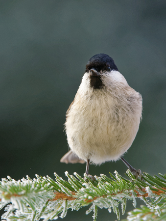 Willow tit (Poecile montanus) is a passerine bird in the tit family.