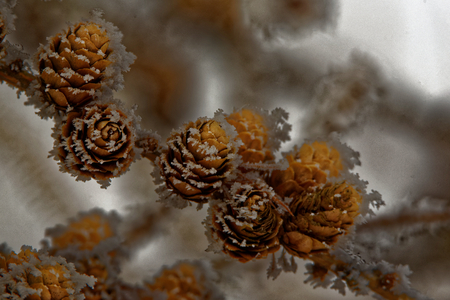 ovulate: Ovulate cones and pollen cones of larch tree in winter Stock Photo
