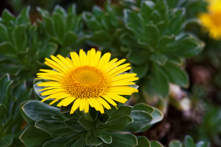 Asteriscus sericeus, the Canary Island daisy, is a species in the daisy family endemic to the Canary Islands.
