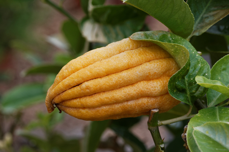 Citrus medica var. sarcodactylis, or the fingered citron, is an unusually shaped citron variety whose fruit is segmented into finger-like sections, resembling a human hand. It is called Buddhas hand.