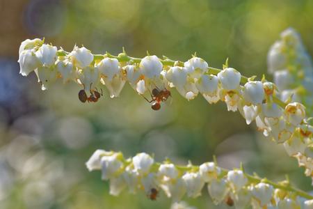 Ants feeding on  fetterbush flowers.
