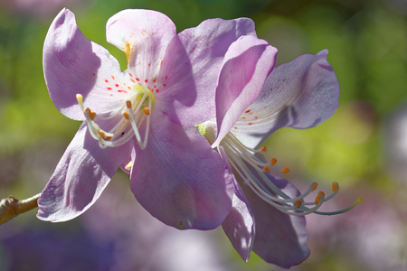 Rhododendron schlippenbachii, the royal azalea, is a species of Rhododendron native to the Korean Peninsula and adjacent regions of Manchuria (Liaoning, Nei Mongol), Japan, and the Russian Far East.