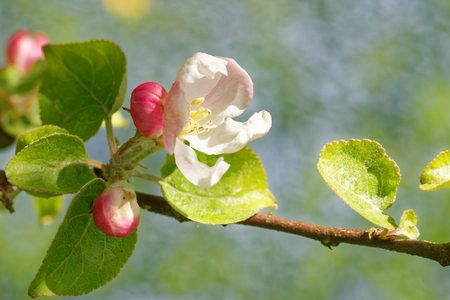 Young flowers of apple tree on background of forget-me-nots and dandelions.