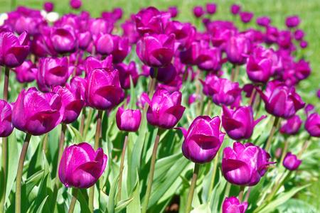 Tulipa Negrita (Triumph tulip)