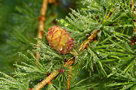Larch leaves and cones after rain
