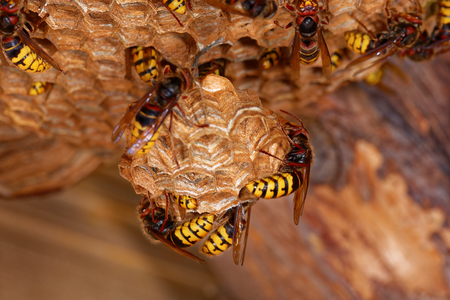 Big wasps - European hornets - are building a nest. Stock Photo