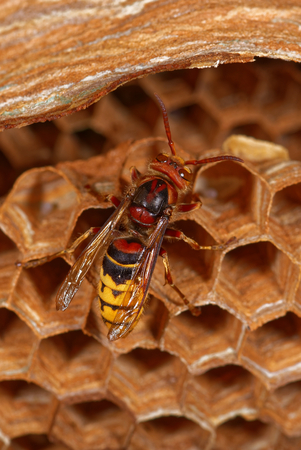 A big wasp - European hornet - is building a nest.