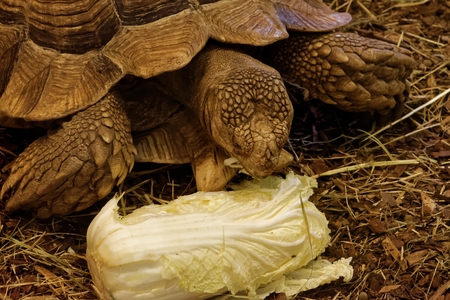 African spurred tortoise (Centrochelys sulcata), also called the sulcata tortoise, is a species of tortoise, which inhabits the southern edge of the Sahara desert, in Africa. Stock Photo