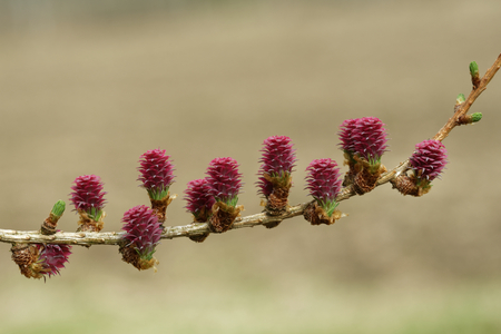 Ovulate cones of larch tree in spring, end of April.