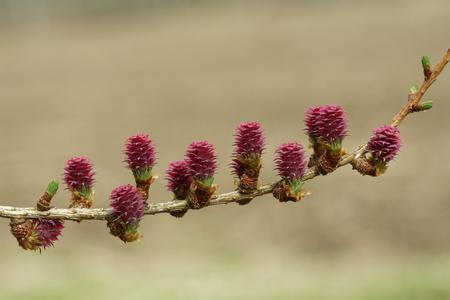 Ovulez des cônes de mélèze au printemps, fin avril.