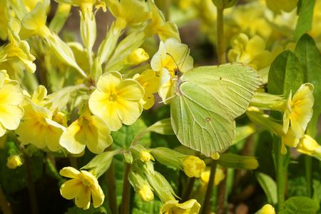 Birmstone butterfly (Gonepteryx rhamni) feeding on Primula flower. Stock Photo