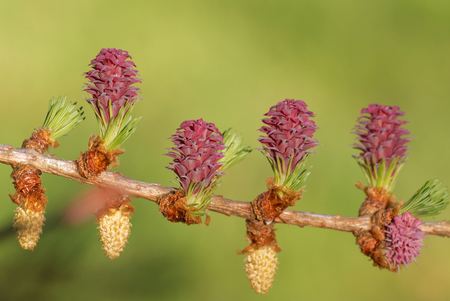 Ovulate cones of larch tree in spring, beginning of May. Stock Photo