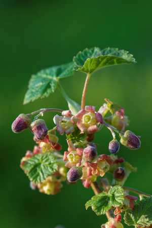 Blackcurrant (Ribes nigrum) is a woody shrub in the family Grossulariaceae grown for its piquant berries.