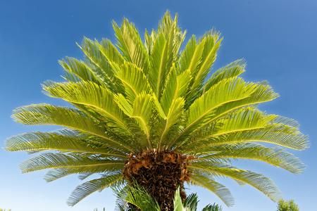 Cycas revoluta, sago palm, king sago, sago cycad, Japanese sago palm)