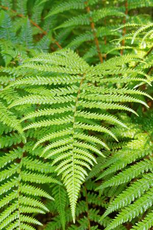 Dicksonia fibrosa (common names golden tree fern, and whekî-ponga or kuripaka)