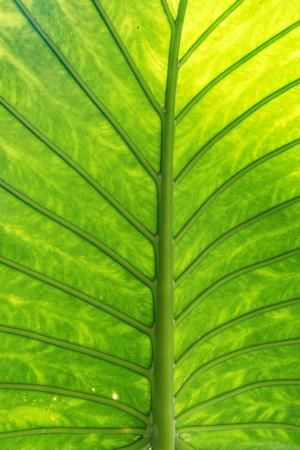 Leaf of Alocasia macrorrhizos, a motive in transmitting light