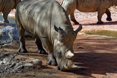 The white rhinoceros or square-lipped rhinoceros (Ceratotherium simum) is the largest extant species of rhinoceros. Stock Photo