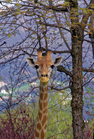 The giraffe (Giraffa) is a genus of African even-toed ungulate mammals, the tallest living terrestrial animals and the largest ruminants. Stock Photo
