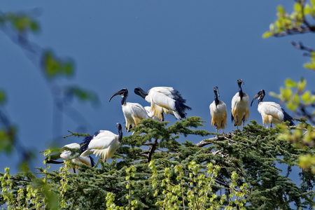 African sacred ibis (Threskiornis aethiopicus) is a species of ibis, a wading bird of the Threskiornithidae family.
