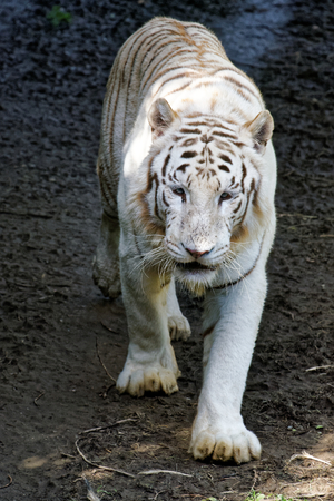 The white tiger or bleached tiger is a pigmentation variant of the Bengal tiger Stock Photo