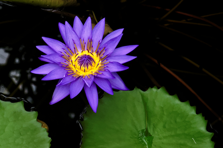 A  flower of Nymphaea Director George T. Moore 写真素材