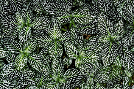 Fittonia albivenis is a species of flowering plant in the family Acanthaceae, native to the rainforests of Colombia, Peru, Bolivia, Ecuador and northern Brazil. Stock Photo