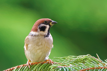 Eurasian tree sparrow (Passer montanus) is a passerine bird in the sparrow family