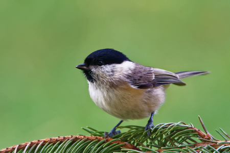 Marsh tit (Poecile palustris) is a passerine bird in the tit family Paridae and genus Poecile