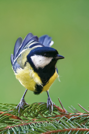Great tit (Parus major) is a passerine bird in the tit family Paridae Banque d'images