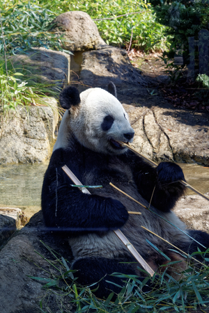 Giant panda is a conservation-reliant vulnerable species.