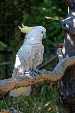 Sulphur-crested cockatoo (Cacatua galerita) is a relatively large white cockatoo found in wooded habitats in Australia, and New Guinea Archivio Fotografico