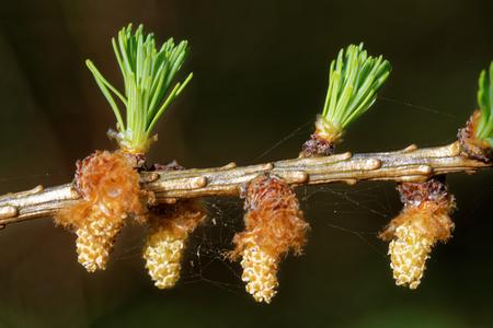 Pollen cones of larch tree in spring, beginning of May. Stock Photo