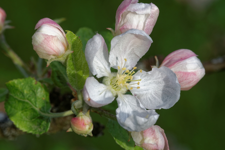 White and pink flowers of an old apple-tree