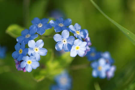 Myosotis is a genus of flowering plants in the family Boraginaceae. In the northern hemisphere they are colloquially denominated forget-me-nots[3] or Scorpion grasses.