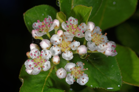White flowers of an Aronia melanocarpa tree