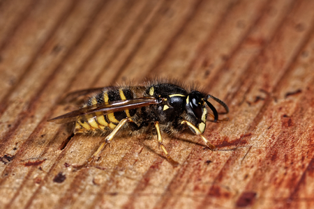 A wasp walking on an old wooden dinner table