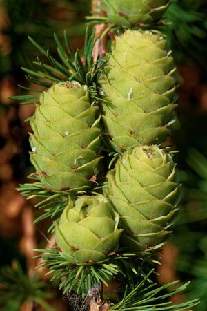 Green ovulate cones of larch tree in spring, beginning of June.