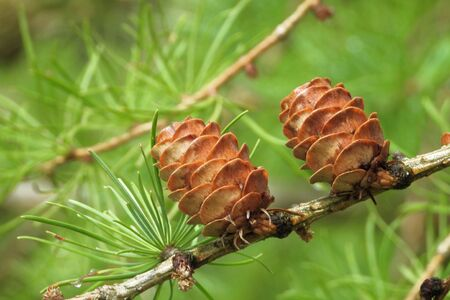 Old ovulate cones of larch tree in summer, beginning of August.