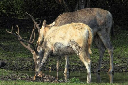 Pere Davids deer (Elaphurus davidianus), also known as the milu, female.and male Stock Photo