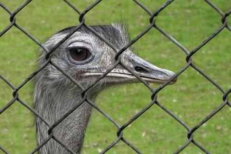 Greater rhea (Rhea americana) is a species of flightless bird native to eastern South America. Stock Photo