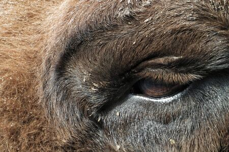 Eye of European bison (Bison bonasus), also known as wisent. Stock Photo