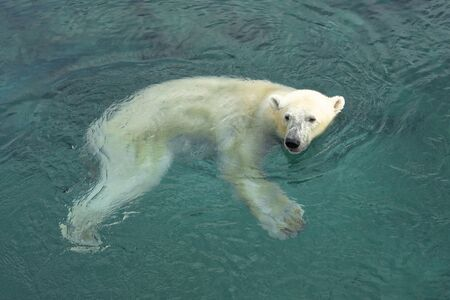 Polar bear (Ursus maritimus) is a hypercarnivorous bear whose native range lies largely within the Arctic Circle, encompassing the Arctic Ocean, its surrounding seas and surrounding land masses.