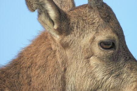 Nubian ibex (Capra nubiana) is a desert-dwelling goat species found in mountainous areas.