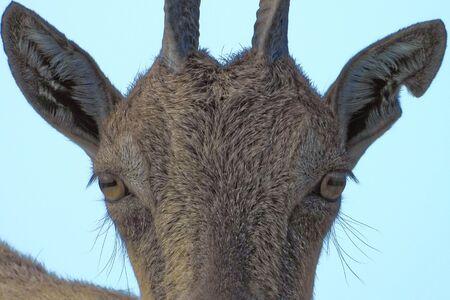 Markhor (Capra falconeri) is a large species of wild goat. Imagens