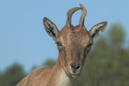 Markhor (Capra falconeri) is a large species of wild goat. Imagens
