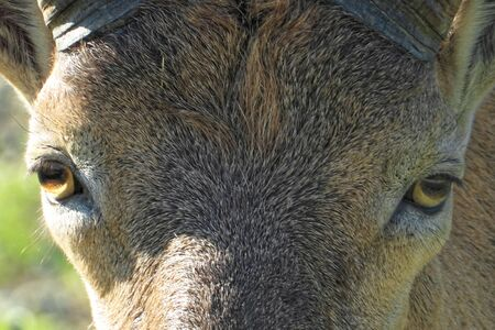 Bharal (Pseudois nayaur), also called the Helan Shan blue sheep, Chinese blue sheep, Himalayan blue sheep or naur Stock fotó