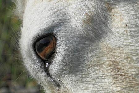 Dall sheep (Dalls sheep), Ovis dalli, is a species of sheep native to northwestern North America. Stock Photo